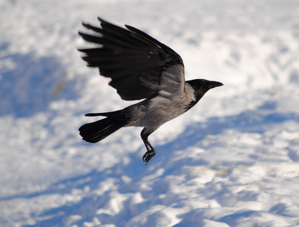 ворона на взлёте