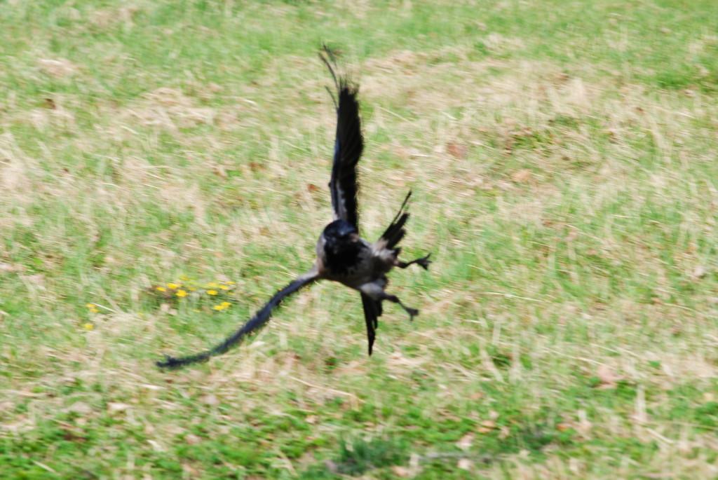 полёт вороны