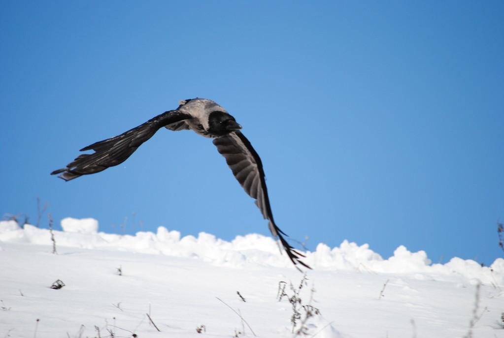 полёт вороны,2011 г-март