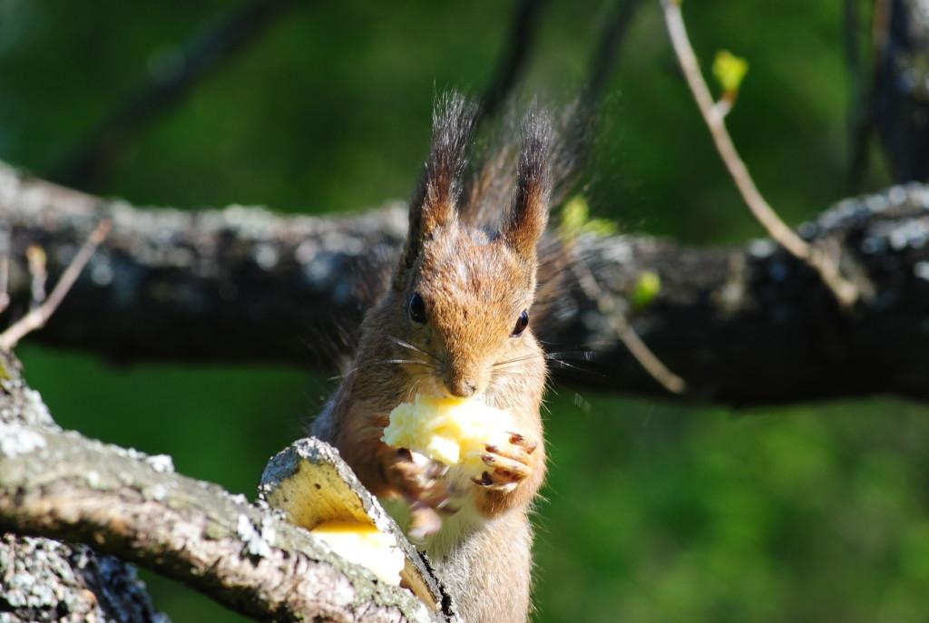 белка грызёт кусочек сыра