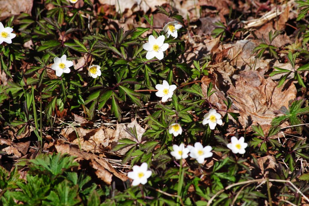 весенние цветочки в лесу