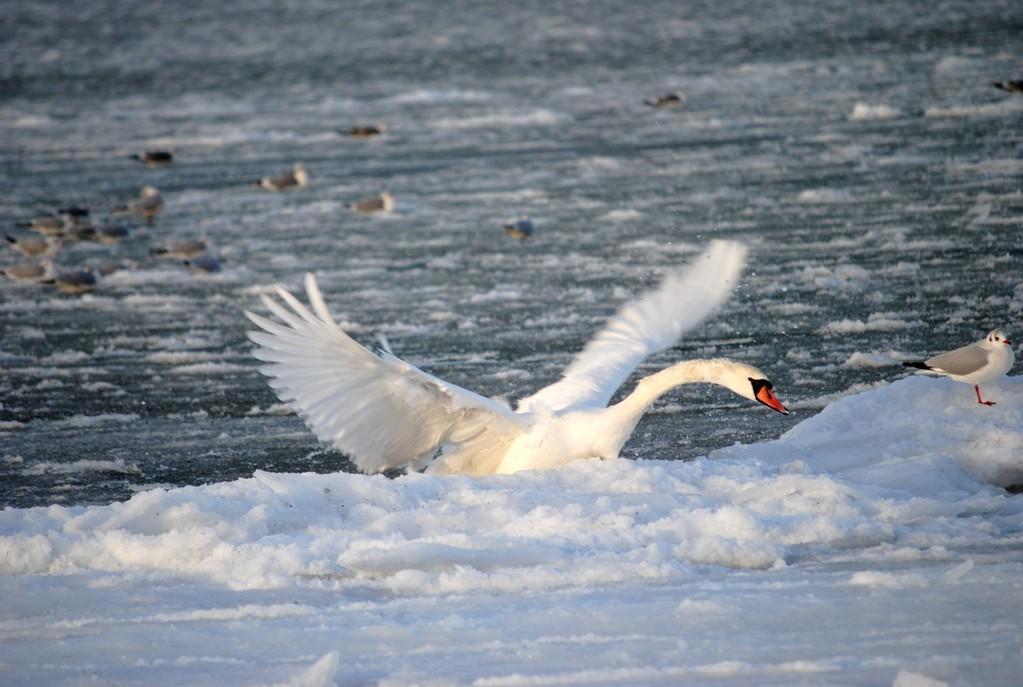 лебедь забирается на берег