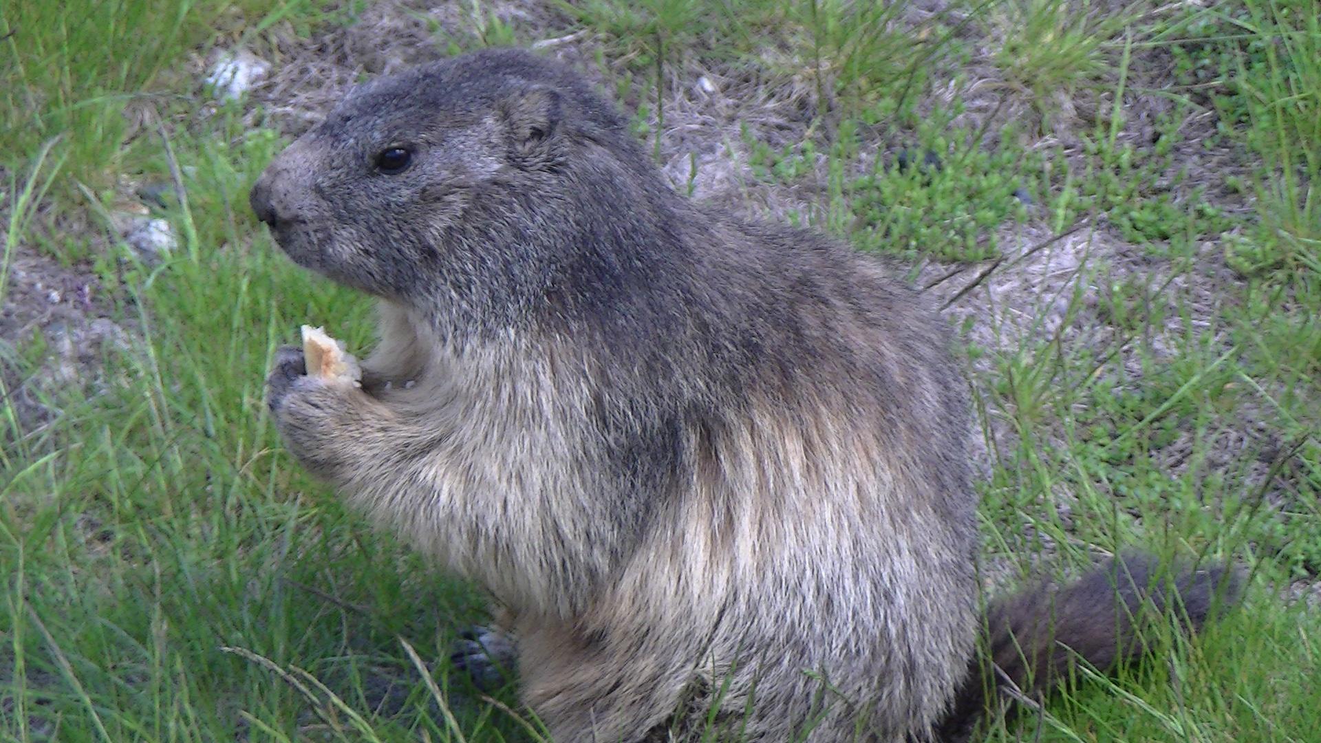 La gourmandise des marmottes est plus forte que la prudence