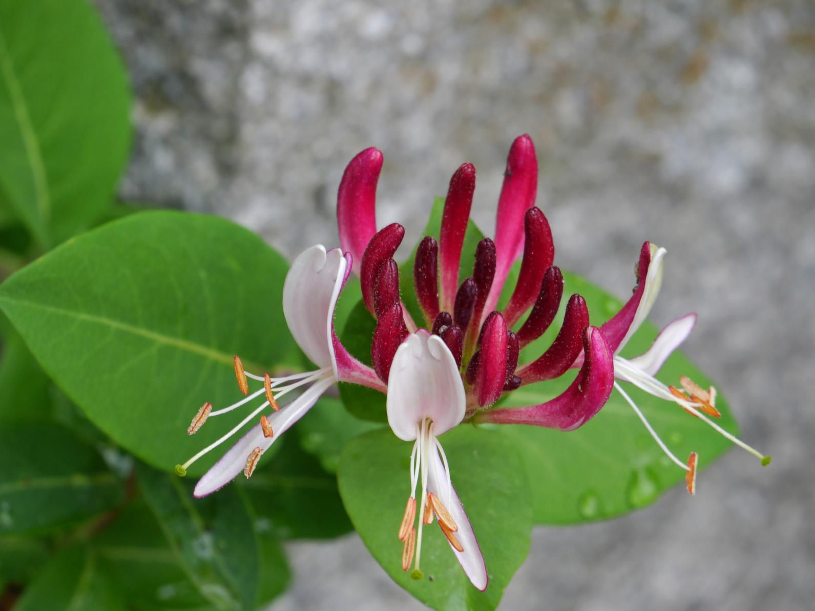 Honeysuckle (Echtes Geißblatt)