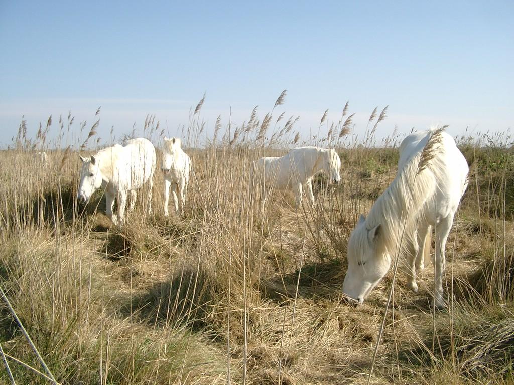 Chevaux blancs de Camargue