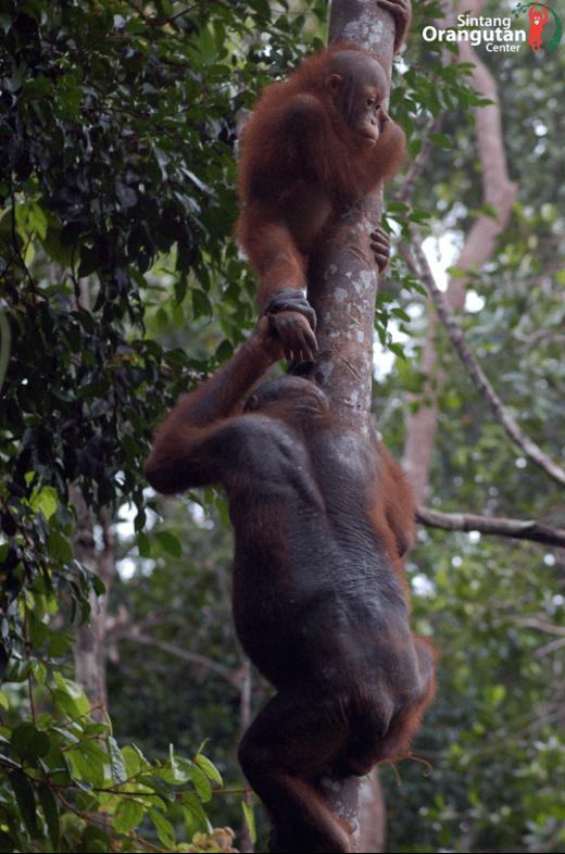 Manfred und Bos Benni ®Sintang Orangutan Center