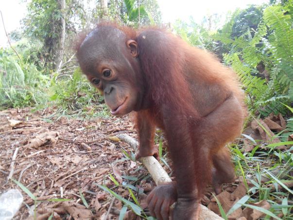 Ribang versucht sich im Nestbau; © Sintang Orang Utan Center