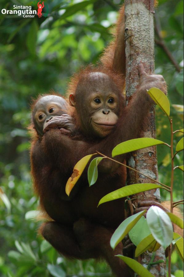 Manfred und Tom ®Sintang Orangutan Center