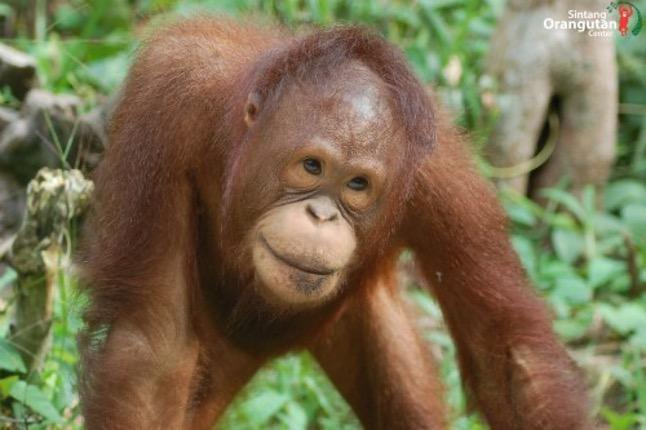 ®Sintang Orangutan Center
