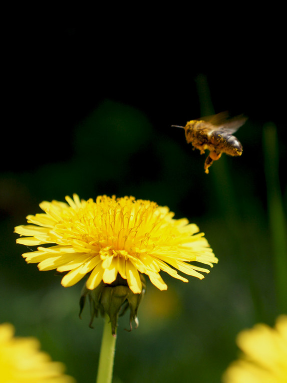 Abeille pissenlit - photo nature en Sologne ©Alexandre Roubalay - Acadiau d'images