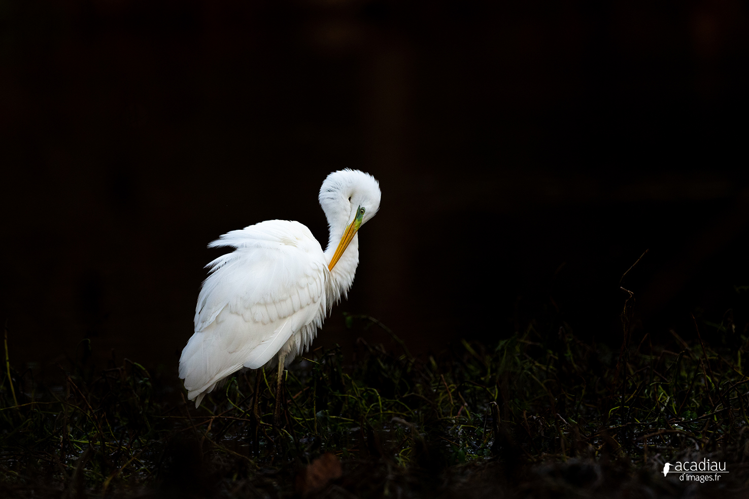 Grande aigrette - photo nature en Sologne ©Alexandre Roubalay - Acadiau d'images