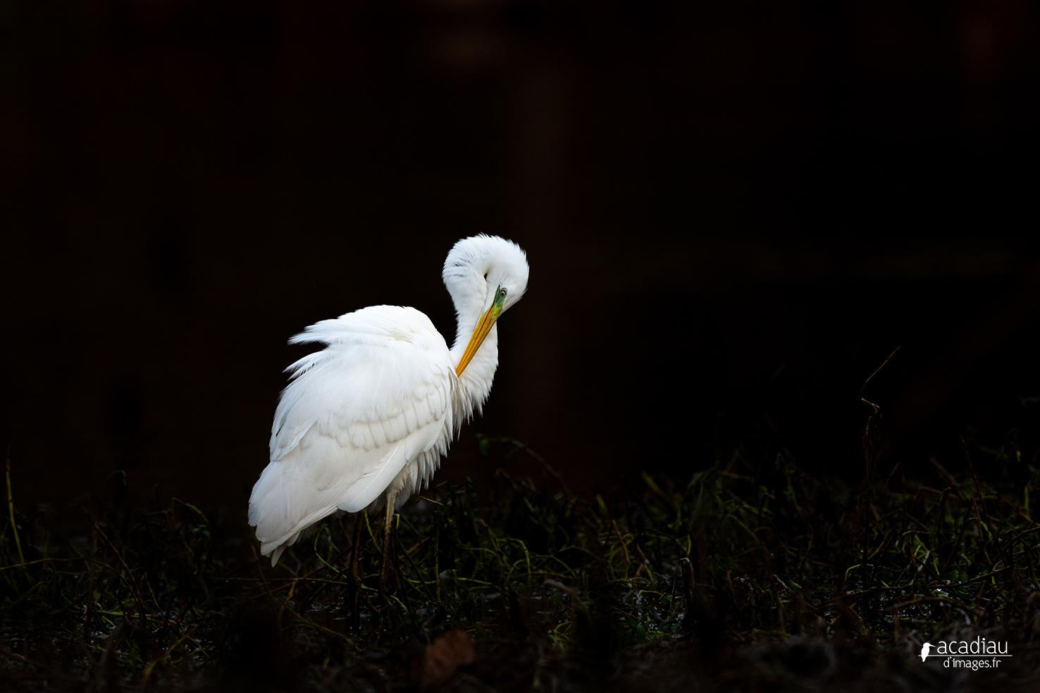 Grande aigrette - photo nature en Sologne ©Alexandre Roubalay - Acadiau d'images