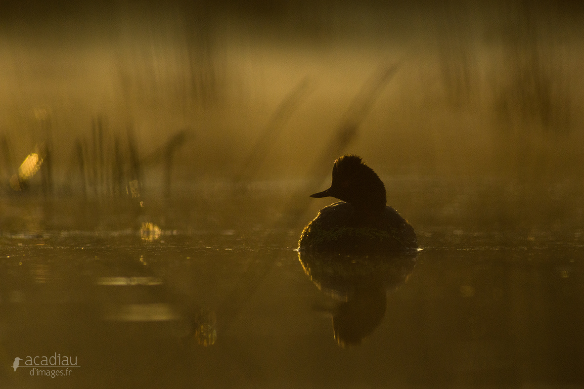 Grèbe à cou noir©Alexandre_Roubalay_photo_nature