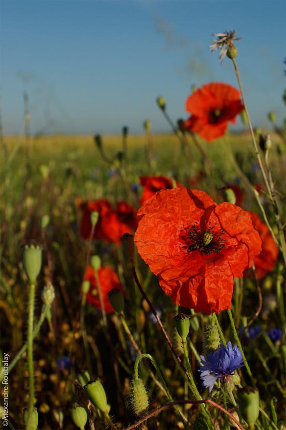 Coquelicot - flore et photo nature en Sologne ©Alexandre Roubalay - Acadiau d'images