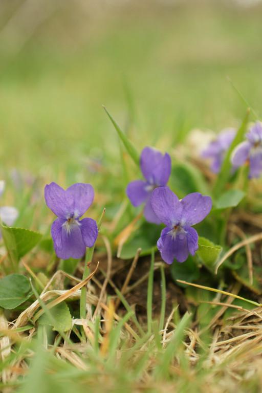 Violette - flore et photo nature en Sologne ©Alexandre Roubalay - Acadiau d'images