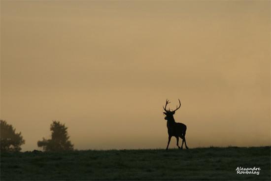 Cerf au levant - photo nature en Sologne ©Alexandre Roubalay - Acadiau d'images