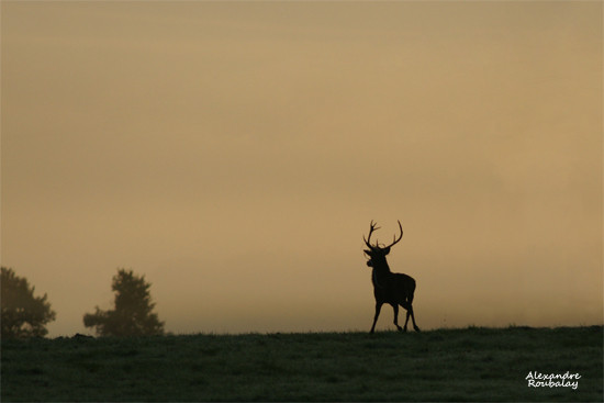 Cerf au levant - photo nature en Sologne ©Alexandre Roubalay - Acadiau d'images