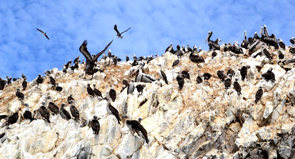 Cormorani, Islas Ballestas, Peru
