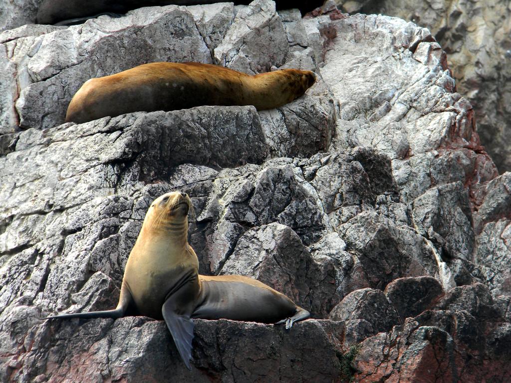 foca , sole del perù, Ballestas e arcipelago di Paracas