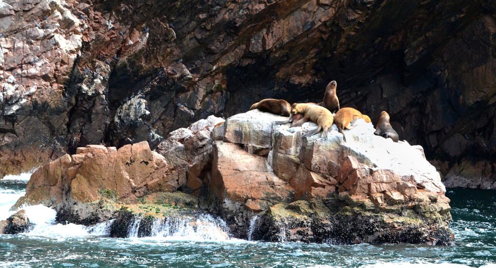 Foche Oceano Pacifico, Ballestas, Paracas, Perù