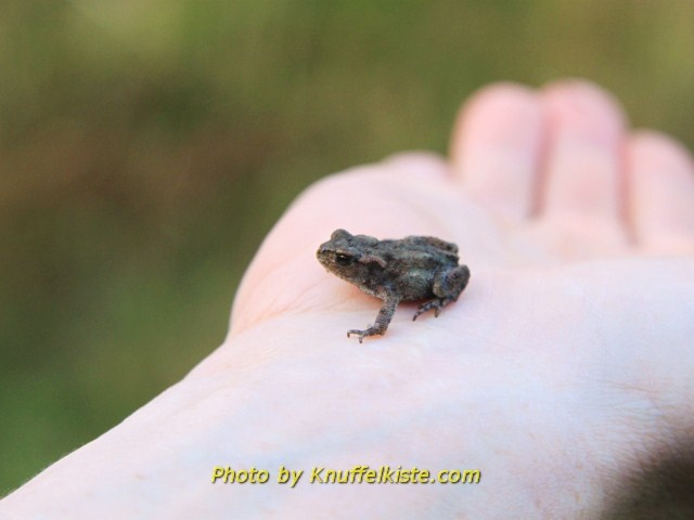 kleiner Frosch am Abend