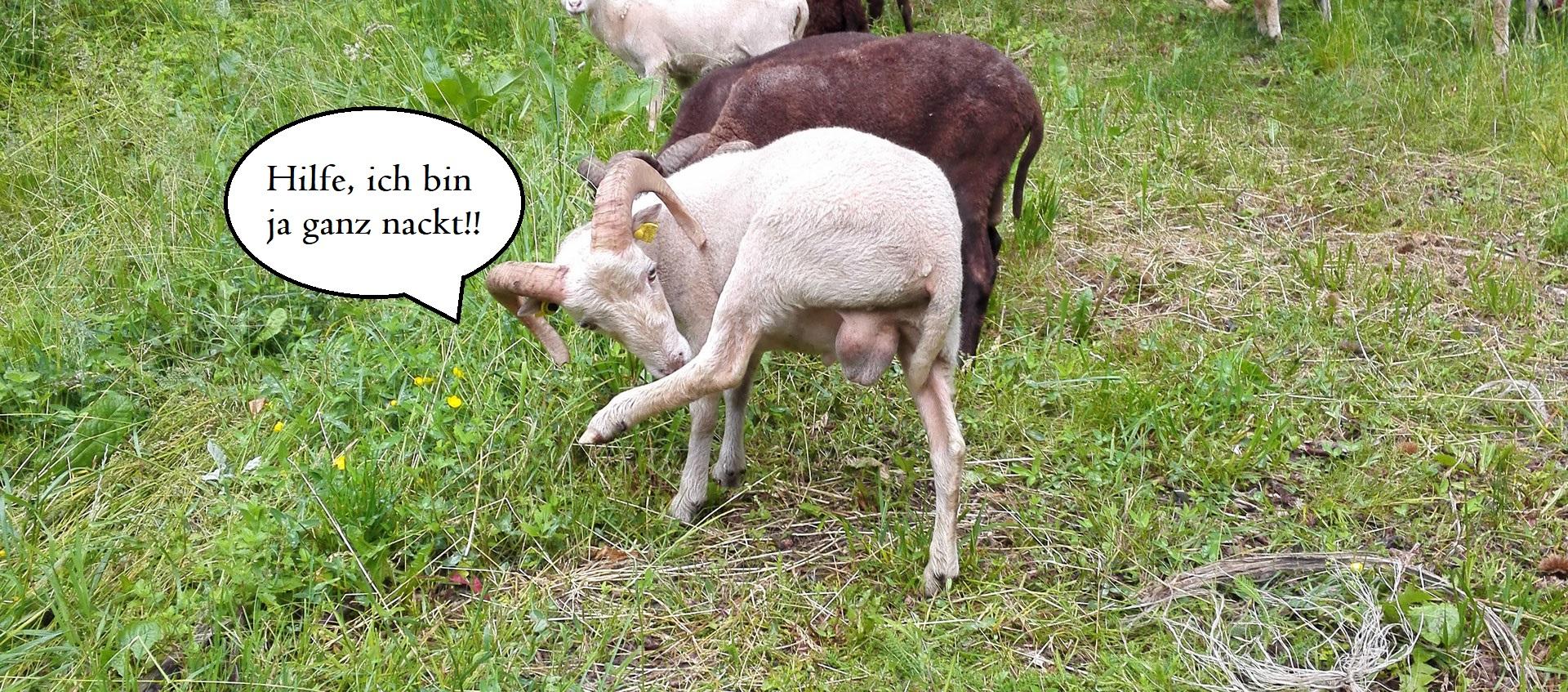 Prächtig Das Scheren von Ouessants... - Ouessant Schafe aus Südtirol #ND_99