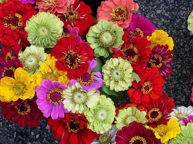 Zinnien sind in zahlreichen Farben als Schnittblumen verfügbar und werden gerne in der Floristik verarbeitet.