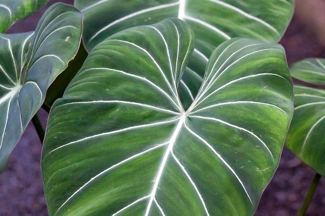 Philodendron, aufrecht wachsend und mit großen Blättern