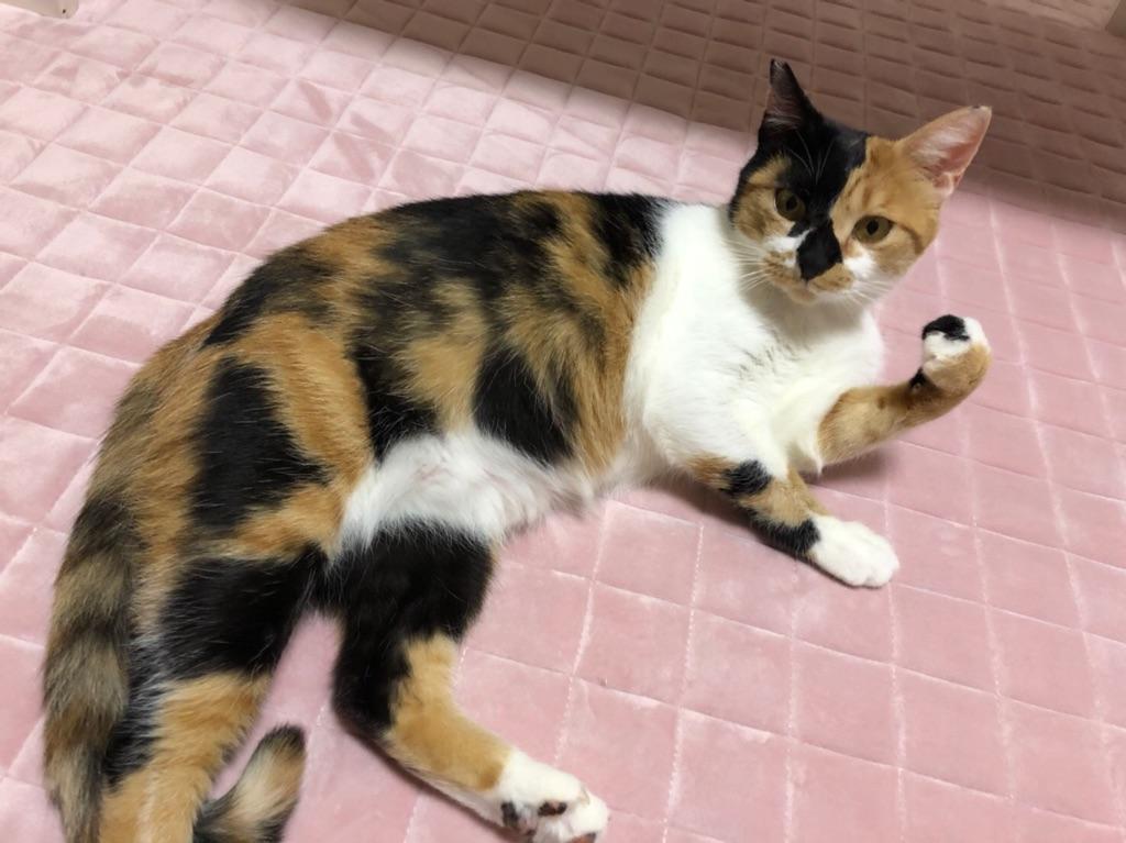 美しい日本三毛猫