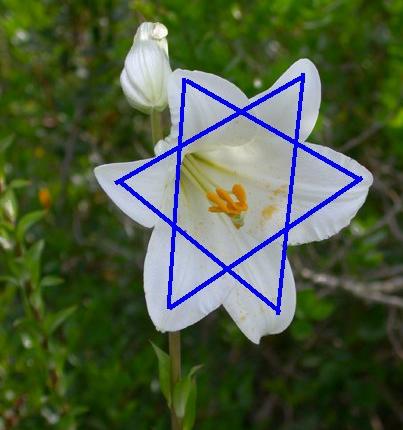 """Die weiße Lilie """"Lilium candidum"""""""