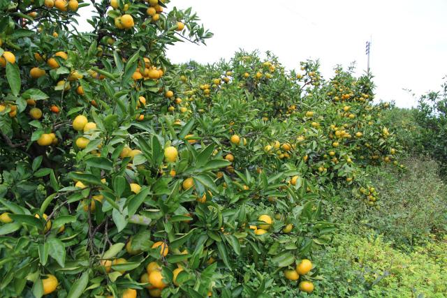 自然栽培・草生栽培のみかん畑の写真
