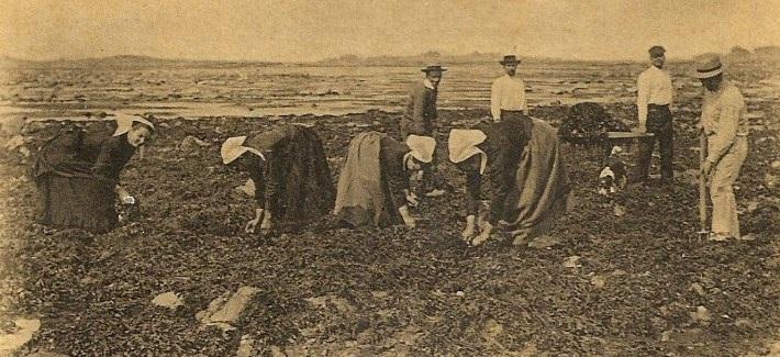 Coupe du goémon de rive à Pleubian, du travail en famille