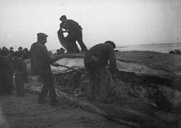 L'équipage de l'Ariel aurait aimé débiter la baleine comme ces gars du pays Bigouden