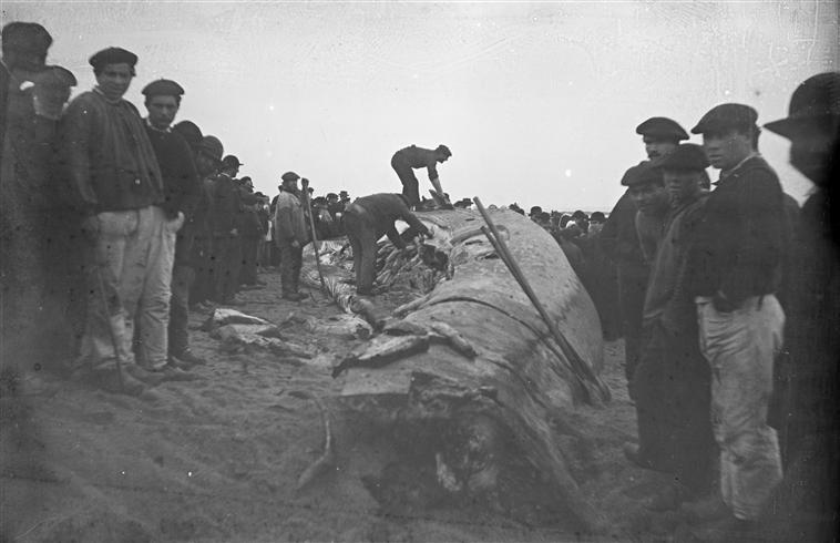En 1941, sous l'occupation allemande, une baleine était vu comme une belle opportunité par les gens de la côte (photo :  découpe d'une baleine au pays Bigouden)