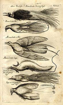 """Zeichnung aus """"Historia naturalis animalium"""" von 1650"""