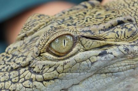 Saltwater Crocodile in Australien