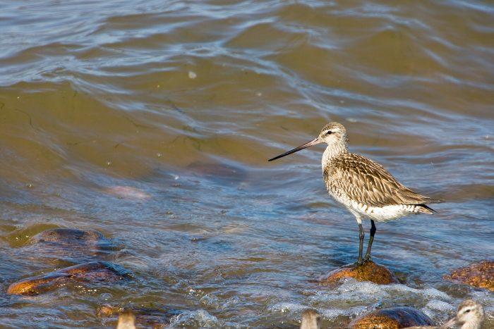 Millionen Vögel können nicht irren - Auf zum Westküsten-Vogelkiek