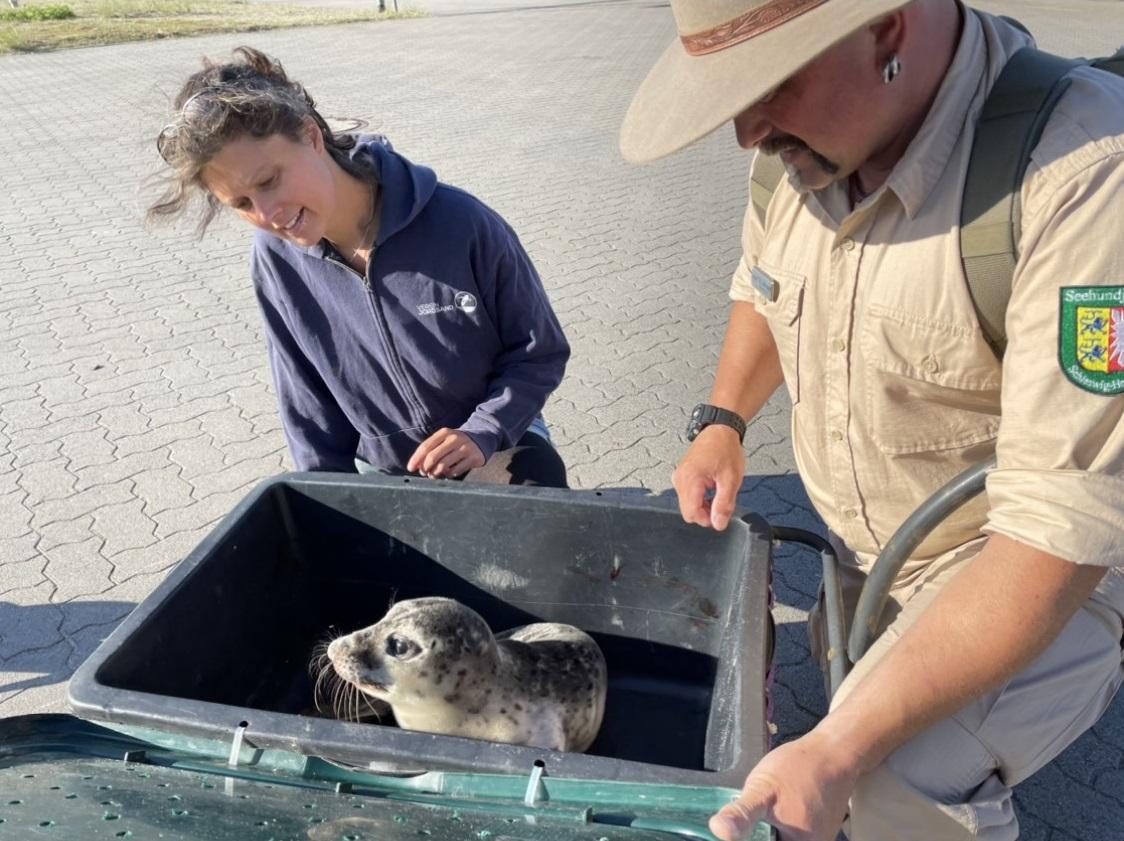 Was tun, wenn man einen jungen Seehund am Strand entdeckt? - Seehundjäger und Naturschützerin gemeinsam im Einsatz auf Helgoland