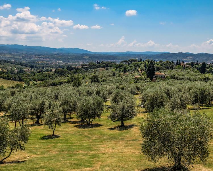 Olive Groves, Fattoria di Maiano