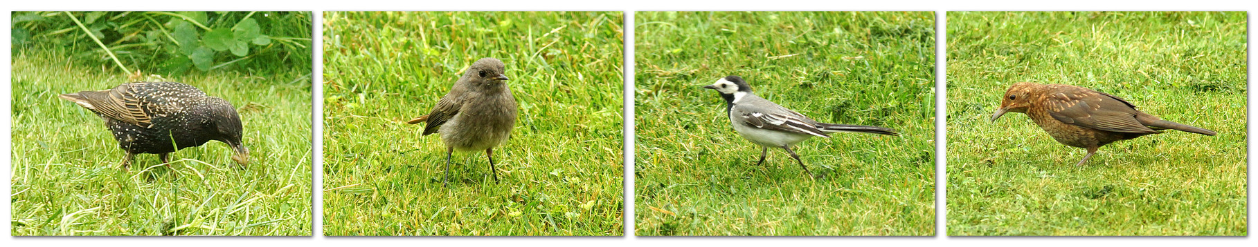 21.06.2014 : nach dem Mähen ist auf dem Rasen ornitologisch viel los ...