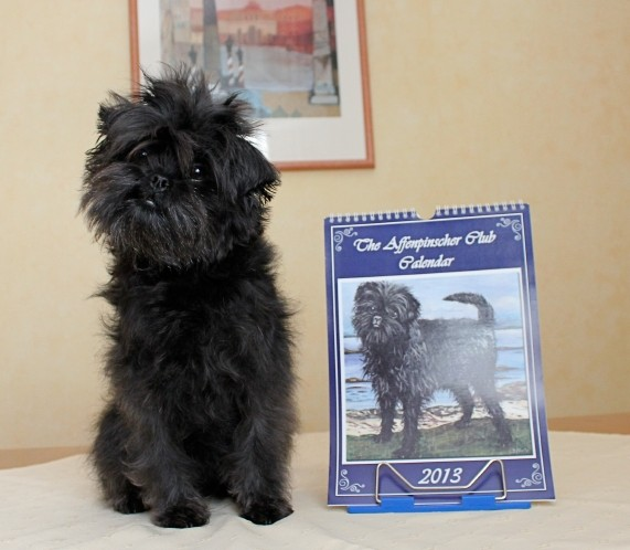 Linni and the calendar 2013 of the Affenpinscher Club of Great Britain