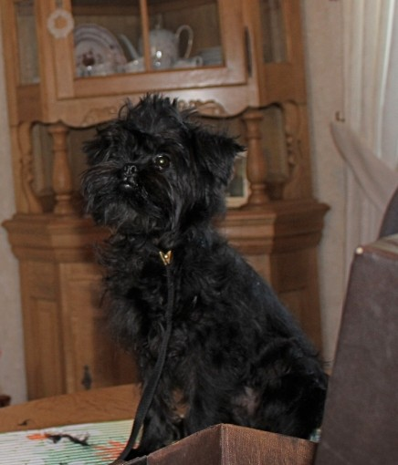 Asterix, 6 months old and very well groomed by Gaby before he travelled into his new home.