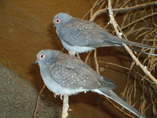 Grauer Zwillinsvogel mit roter Augen