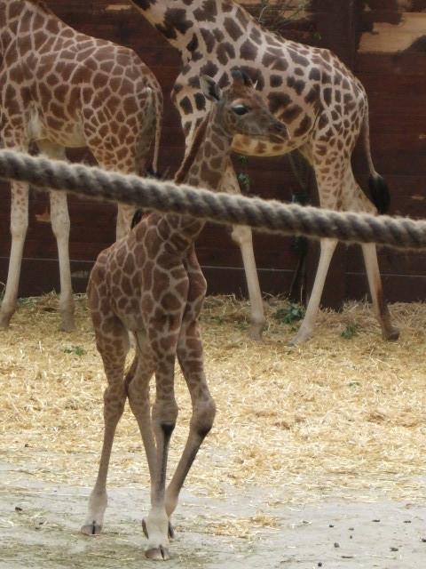 Giraffenjüngling
