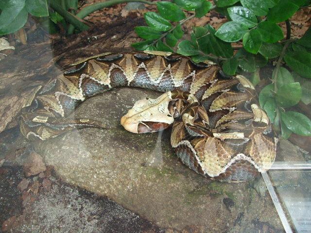 Schlange mit breiten Kopf