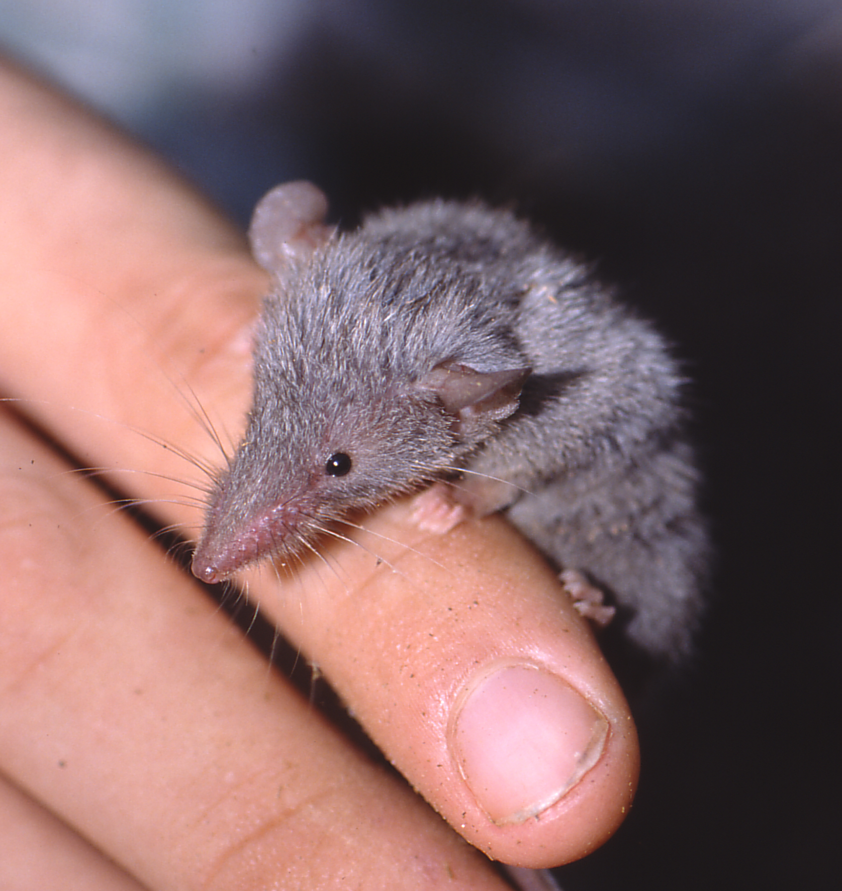 One of the many ecologically similar shrew tenrecs, Microgale brevicauda.