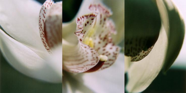 Orchidea 3, Analogic photography, 2003