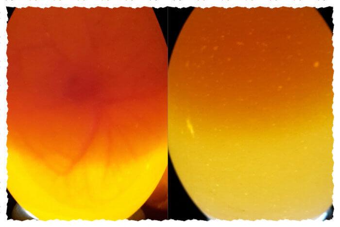 Zwei Eier, eines befruchtet und eines unbefruchtet
