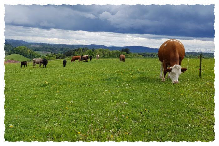 Mutterkühe, Rinder und Jungvieh auf der Weide