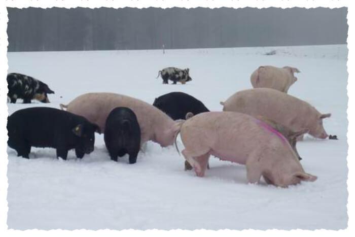 Diverse Schweine auf der Winterweide im Schnee